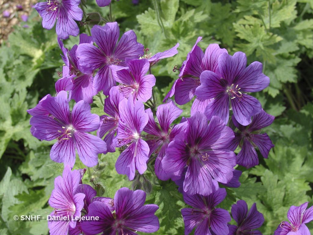 geranium-magnificum-lejeune