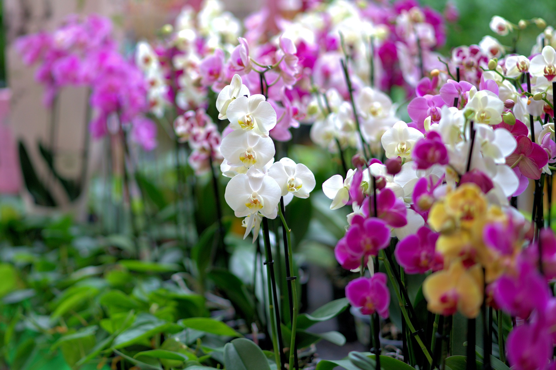 orchid-3479539_1920-1